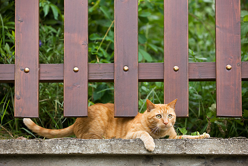 CAT 02 JE0013 01 © Kimball Stock Orange Tabby Cat Laying Under Wooden Fence