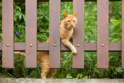 CAT 02 JE0014 01 © Kimball Stock Orange Tabby Cat Looking Through Wooden Fence