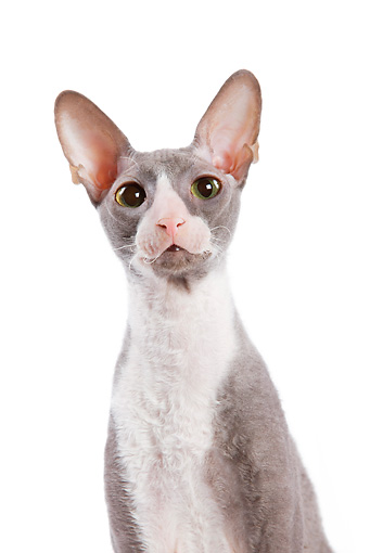 CAT 02 JE0018 01 © Kimball Stock Head Shot Of Cornish Rex Sitting On White Seamless