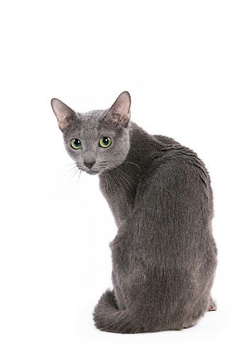 CAT 02 JE0026 01 © Kimball Stock Russian Blue Sitting On White Seamless