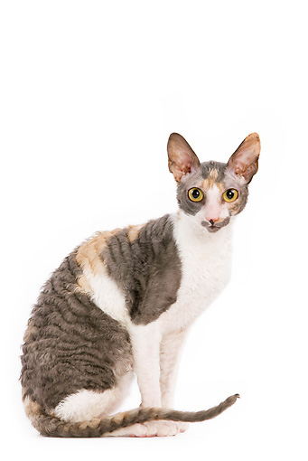 CAT 02 JE0030 01 © Kimball Stock Cornish Rex Sitting On White Seamless