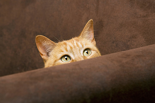 CAT 02 JE0031 01 © Kimball Stock Orange Tabby Peeking From Behind Brown Couch Arm
