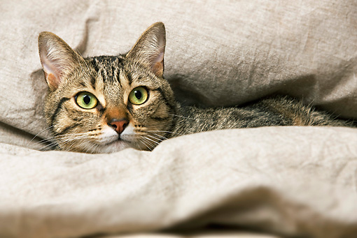 CAT 02 JE0040 01 © Kimball Stock Brown Tabby Cat Laying In Beige Fabric