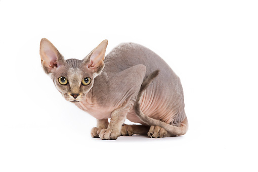 CAT 02 JE0047 01 © Kimball Stock Sphynx Cat Crouching On White Seamless