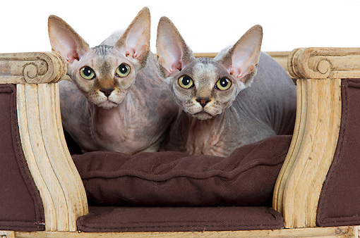 CAT 02 JE0048 01 © Kimball Stock Two Sphynx Cats Sitting On Brown Chair