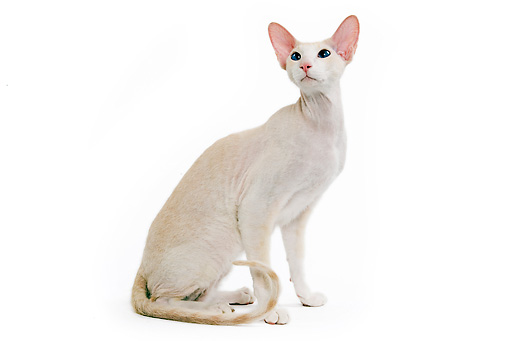 CAT 02 JE0060 01 © Kimball Stock Peterbald Cat Sitting On White Seamless