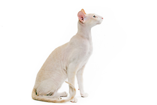 CAT 02 JE0061 01 © Kimball Stock Peterbald Cat Sitting On White Seamless