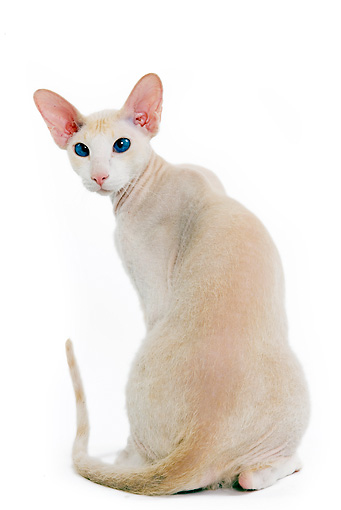 CAT 02 JE0062 01 © Kimball Stock Peterbald Cat Sitting On White Seamless