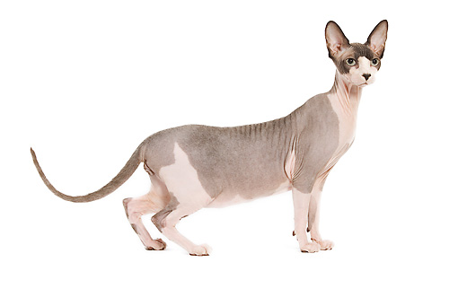 CAT 02 JE0063 01 © Kimball Stock Sphynx Cat Standing On White Seamless