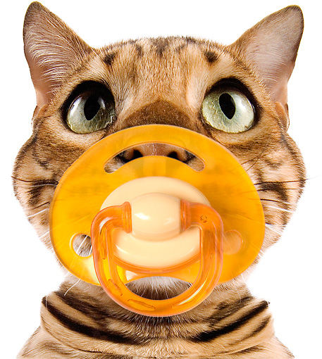 CAT 02 JE0076 01 © Kimball Stock Head Shot Of Bengal Cat Sucking On Pacifier On White Seamless