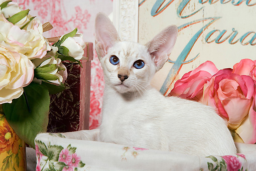 CAT 02 JE0078 01 © Kimball Stock Siamese Cat Sitting In Box By Flowers