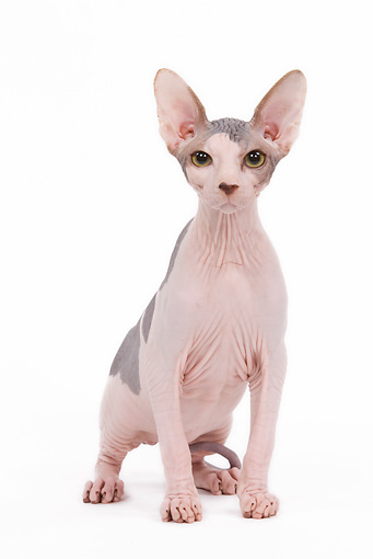 CAT 02 JE0080 01 © Kimball Stock Sphynx Cat Sitting On White Seamless