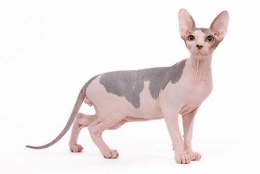CAT 02 JE0081 01 © Kimball Stock Sphynx Cat Standing On White Seamless