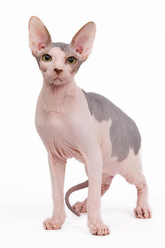 CAT 02 JE0082 01 © Kimball Stock Sphynx Cat Standing On White Seamless