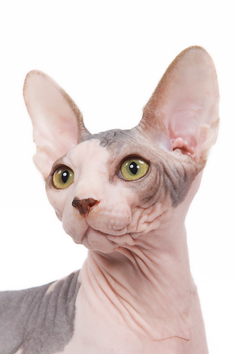 CAT 02 JE0083 01 © Kimball Stock Head Shot Of Sphynx Cat Standing On White Seamless
