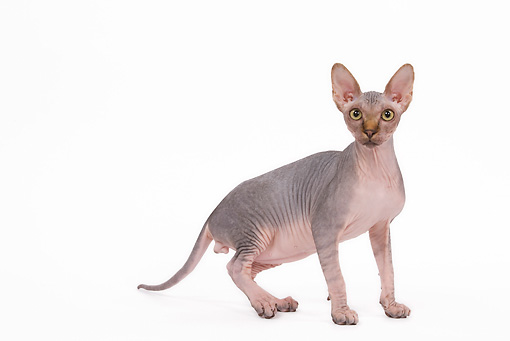 CAT 02 JE0084 01 © Kimball Stock Sphynx Cat Standing On White Seamless