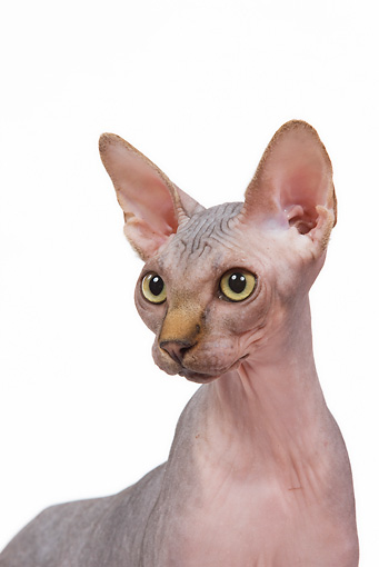CAT 02 JE0085 01 © Kimball Stock Head Shot Of Sphynx Cat Standing On White Seamless