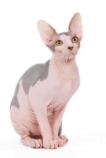 CAT 02 JE0086 01 © Kimball Stock Sphynx Cat Sitting On White Seamless