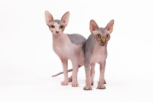 CAT 02 JE0087 01 © Kimball Stock Two Sphynx Cats Standing On White Seamless