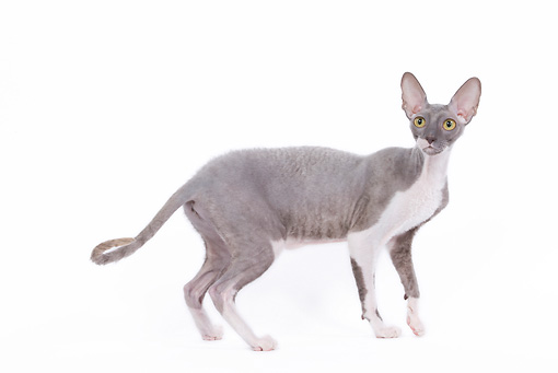 CAT 02 JE0090 01 © Kimball Stock Cornish Rex Standing On White Seamless