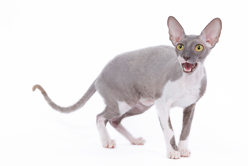CAT 02 JE0091 01 © Kimball Stock Cornish Rex Standing On White Seamless