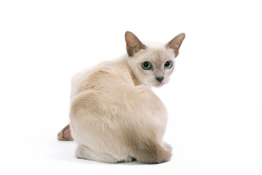 CAT 02 JE0094 01 © Kimball Stock Tonkinese Lilac Cat Sitting On White Seamless Looking Back