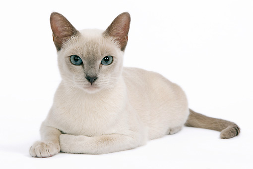 CAT 02 JE0095 01 © Kimball Stock Tonkinese Lilac Cat Laying On White Seamless