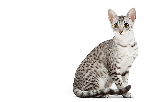 CAT 02 JE0099 01 © Kimball Stock Black And Silver Spotted Egyptian Mau Cat Sitting On White Seamless