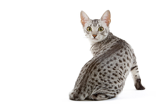 CAT 02 JE0100 01 © Kimball Stock Black And Silver Spotted Egyptian Mau Cat Sitting On White Seamless Looking Back