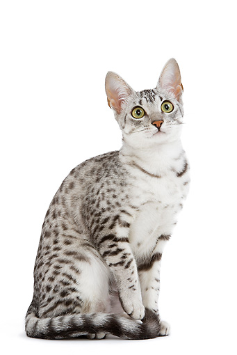 CAT 02 JE0101 01 © Kimball Stock Black And Silver Spotted Egyptian Mau Cat Sitting On White Seamless