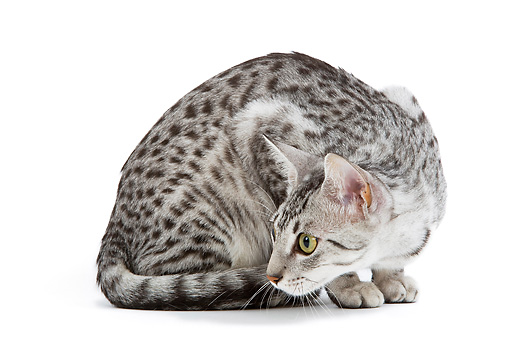 CAT 02 JE0102 01 © Kimball Stock Black And Silver Spotted Egyptian Mau Cat Sitting On White Seamless Crouching