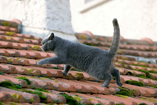 CAT 02 JE0103 01 © Kimball Stock Chartreux Cat Walking On Roof Profile