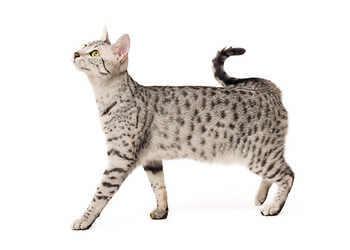 CAT 02 JE0120 01 © Kimball Stock Egyptian Mau Cat Standing On White Seamless Profile