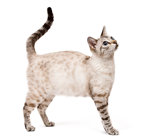 CAT 02 JE0123 01 © Kimball Stock Seal Lynx Point Spotted Tabby Snow Bengal Cat Standing On White Seamless