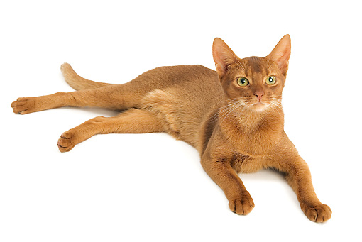CAT 02 JE0131 01 © Kimball Stock Abyssinian Sorrel Cat Laying On White Seamless