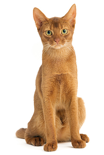 CAT 02 JE0132 01 © Kimball Stock Abyssinian Sorrel Cat Sitting On White Seamless