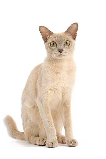 CAT 02 JE0136 01 © Kimball Stock Lilac Cream Burmese Cat Sitting On White Seamless