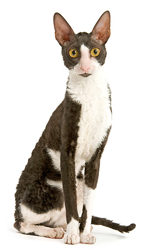 CAT 02 JE0137 01 © Kimball Stock Black And White Cornish Rex Cat Sitting On White Seamless