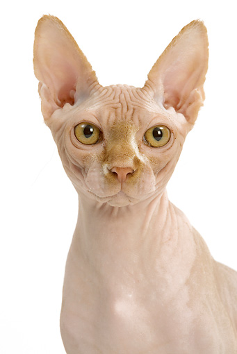 CAT 02 JE0138 01 © Kimball Stock Head Shot Of Sphynx Cat On White Seamless