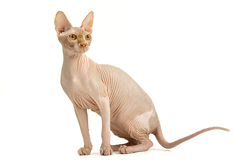 CAT 02 JE0139 01 © Kimball Stock Sphynx Cat Sitting On White Seamless