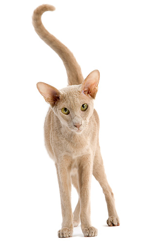 CAT 02 JE0140 01 © Kimball Stock Oriental Fawn Cat Standing On White Seamless