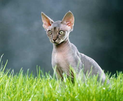 CAT 02 JE0145 01 © Kimball Stock Devon Rex Sitting On Grass