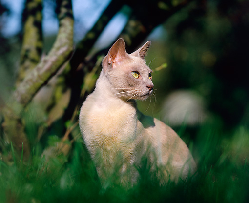 CAT 02 JE0146 01 © Kimball Stock Burmese Cat Sitting On Grass By Trees
