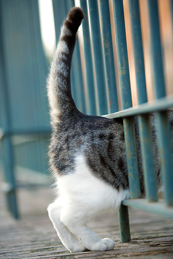 CAT 02 JE0147 01 © Kimball Stock Backside Of Alley Cat Squeezing Through Bars Of Gate Rome