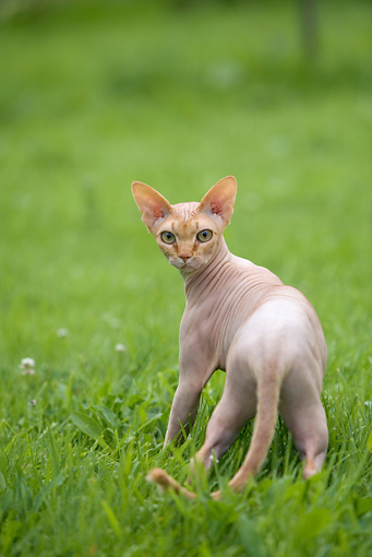 CAT 02 JE0151 01 © Kimball Stock Sphynx Cat Standing On Grass Looking Back
