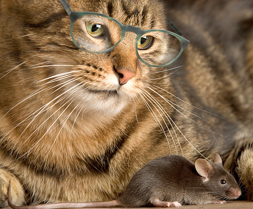 CAT 02 JE0153 01 © Kimball Stock Close-Up Of Alley Cat Wearing Glasses And Watching Mouse