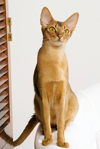 CAT 02 JE0163 01 © Kimball Stock Abyssinian Cat Sitting On White Armchair