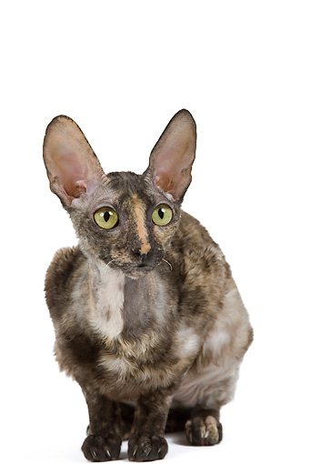 CAT 02 JE0169 01 © Kimball Stock Cornish Rex Crouching On White Seamless