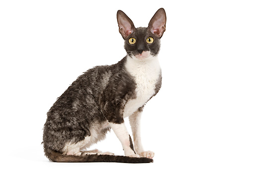 CAT 02 JE0170 01 © Kimball Stock Cornish Rex Sitting On White Seamless