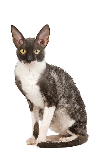 CAT 02 JE0171 01 © Kimball Stock Cornish Rex Sitting On White Seamless